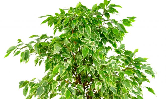 Tipos de ficus hogarmania for Arbustos de interior
