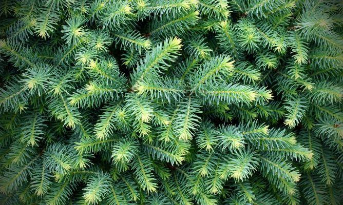 Plantar un cedro bricoman a for Variedades de pinos para jardin