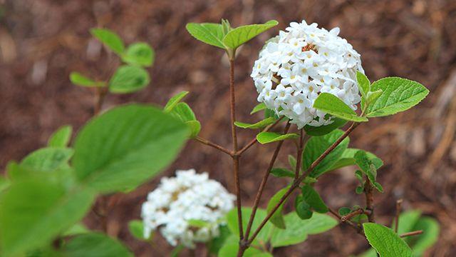 3 arbustos con flores para alegrar el invierno bricoman a for Arbustos con flores para jardin