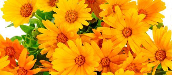 Flores románticas: margaritas