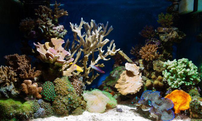 Peces tropicales de agua dulce para acuario hogarmania for Peces agua dulce
