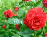 rosa planta frio