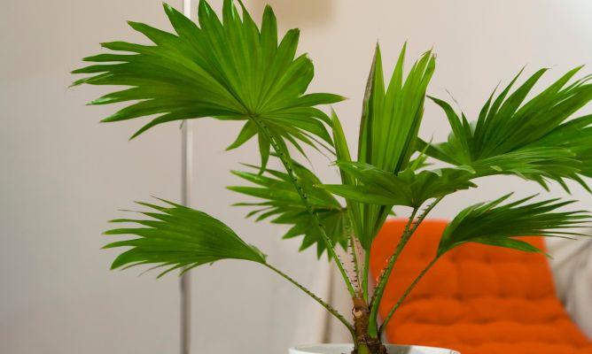 Palmeras de interior decogarden - Variedades de plantas de interior ...