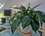 plantas resistentes - aspidistra