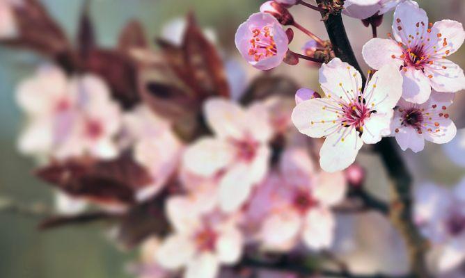 cerezo de flor hogarmania