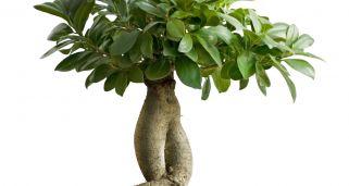 Ficus robusta ficus el stica cuidados plantas - Variedades de ficus ...