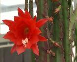 plantas crasas colgantes - Disopcacthus Akermannii