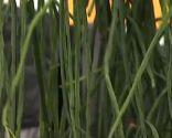 plantas crasas colgantes - Rhipsalis Alata