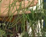 plantas crasas colgantes - Rhipsalis Baccifera