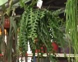 plantas crasas colgantes - Selenicereus Antonianus