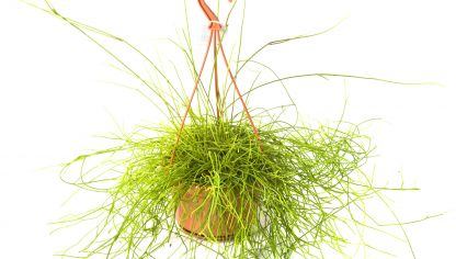 Cactus y plantas crasas hogarmania for Plantas suculentas colgantes