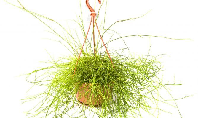 Plantas crasas colgantes decogarden for Plantas crasas interior