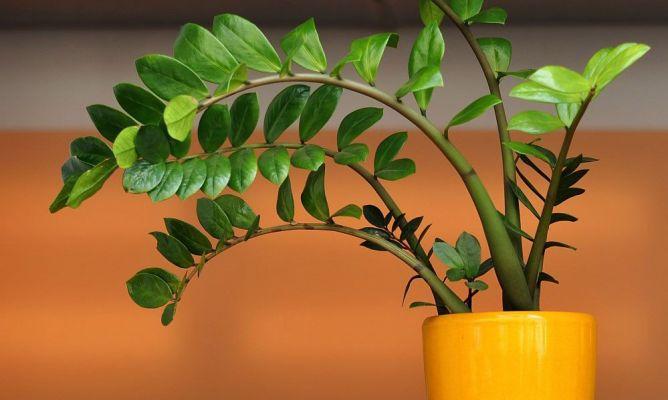 Zamioculca c mo cuidarla bricoman a for Como cuidar las plantas ornamentales