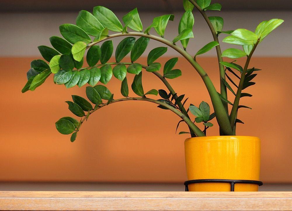 Trasplantar y plantar una zamioculca