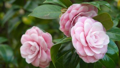 Camelia camellia japonica fichas de plantas for Cuidados camelia japonica