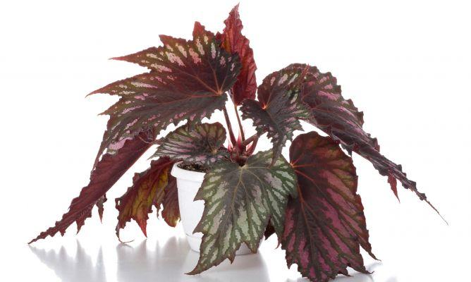 Reproducir begonia rex por esquejes de hojas bricoman a for Planta ornamental que se reproduzca por esquejes