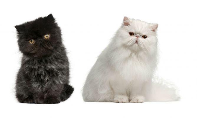 cuidado de gatos persas en casa - decogarden