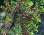 Tejo o Taxus Baccata Fastigiata