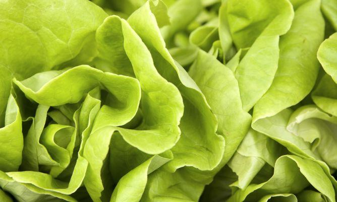 Cultivar lechugas hogarmania - Hogarutil plantas ...