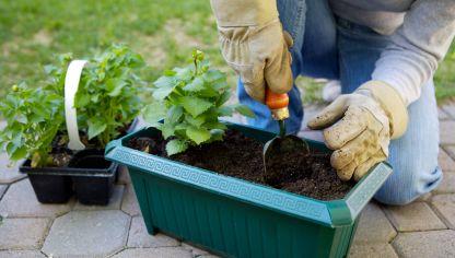 Rosales preparaci n y plantaci n hogarmania - Rosales en macetas ...