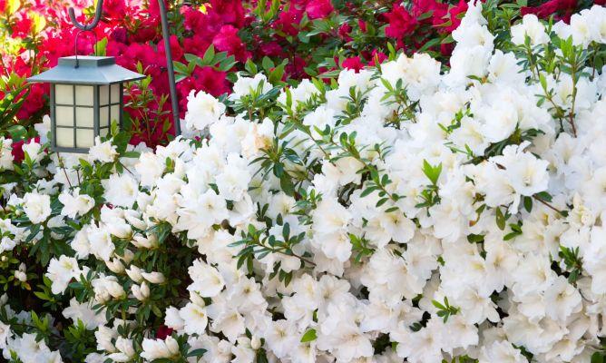 Azaleas y rododendros bricoman a for Bricomania jardin