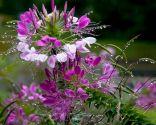 Flor araña o cleome spinosa