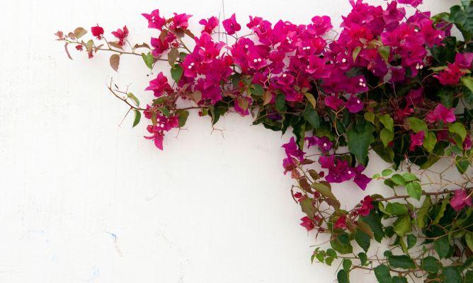 Plantas trepadoras con flor decogarden - Hogarutil plantas ...