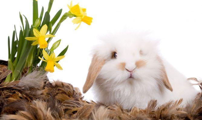 Cuidados del conejo enano angora decogarden - Casas para conejos enanos ...