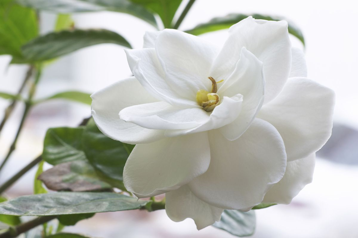 gardenias blancas