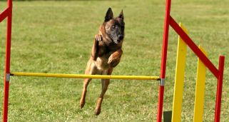 Deporte canino: Ring francés