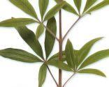 planta sauzgatillo