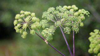 10 plantas medicinales para la salud de la mujer - Angélica