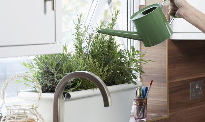 cultivar romero - hogarmania
