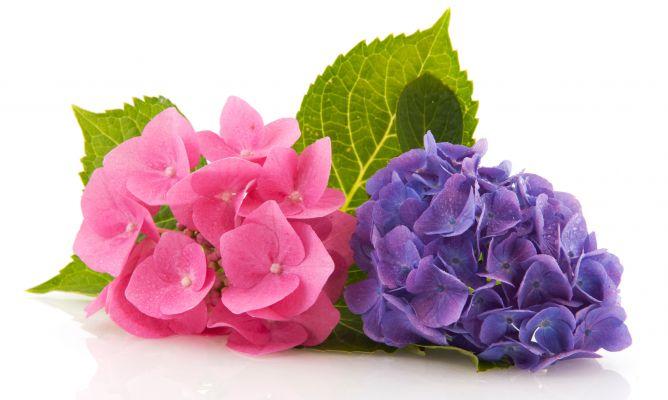 Variedades de hortensias - Decogarden