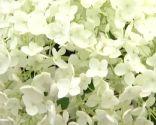 Hortensia hydrangea arborescens