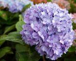 Hortensia con flores lilas