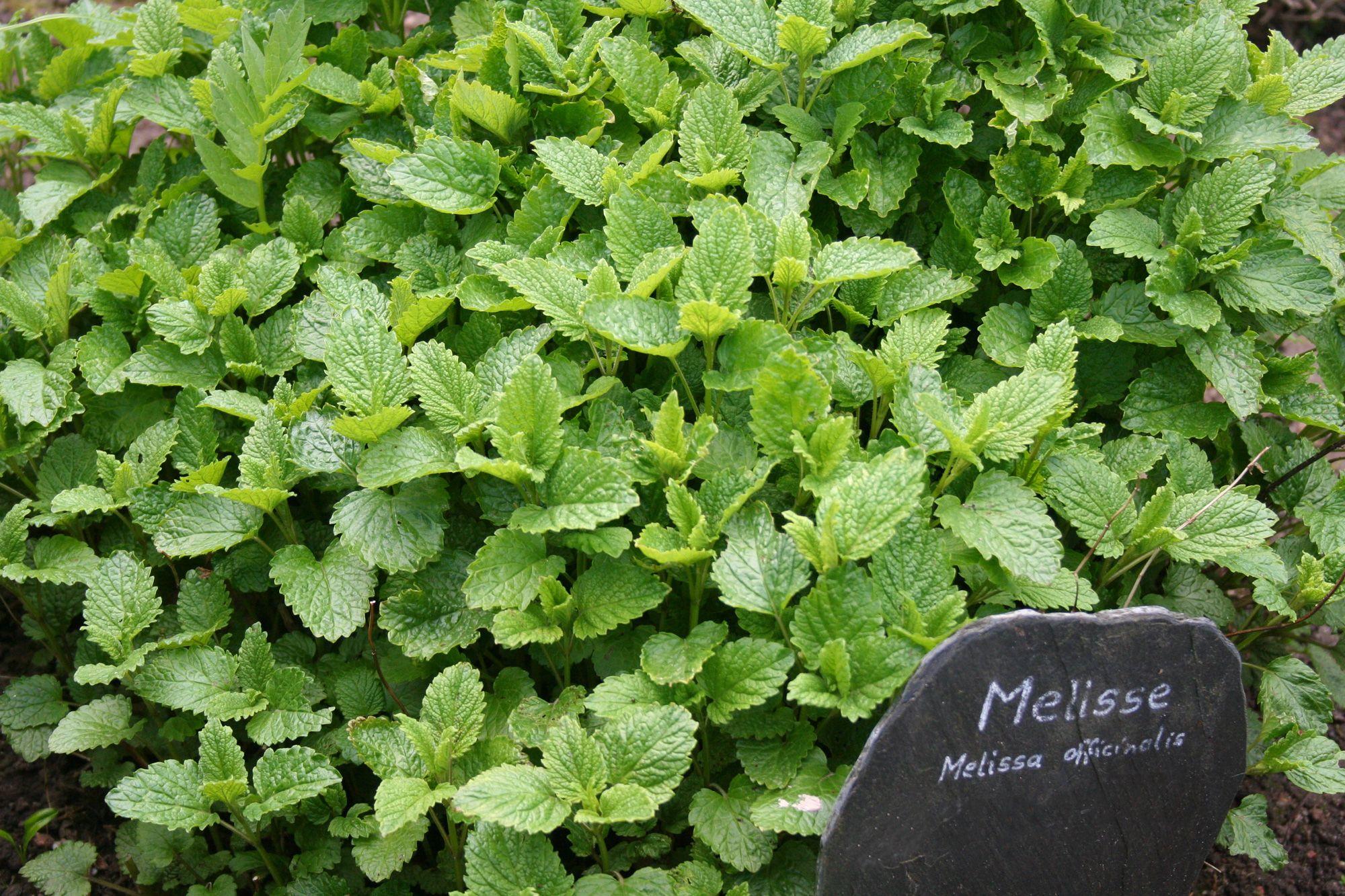 plantas contra el insomnio - melisa