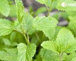 aromas afrodisíacos - menta y hierbabuena