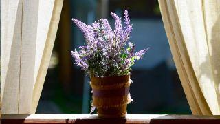 Planta que repele insectos y polillas: la lavanda