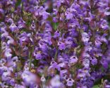 Salvia o salvia jamensis