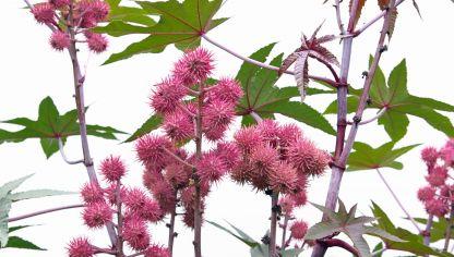 Diefembaquia o dieffenbachia hogarmania for Plantas decorativas interior venenosas
