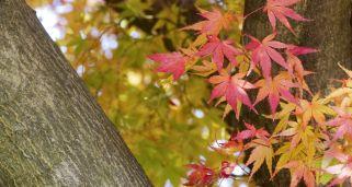 Farolito japon s ficha de plantas jardineria hogarmania - Arce japones cuidados ...