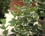 Euonymus fortunei blanco