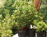 Euonymus japonicus amarillo