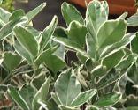 Euonymus japonicus blanco