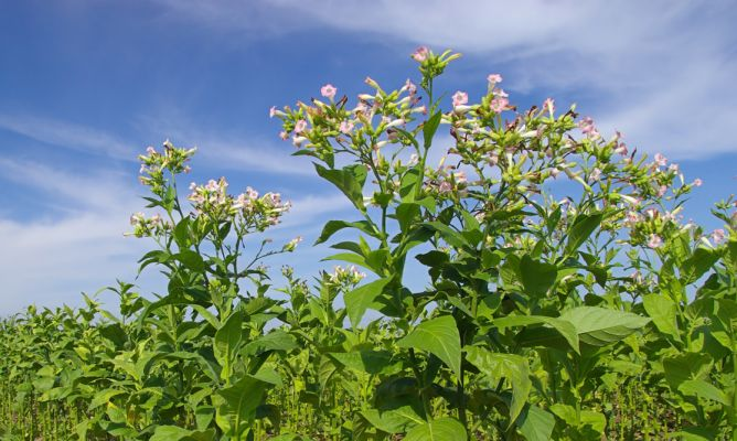 Planta del tabaco hogarmania - Hogarutil plantas ...