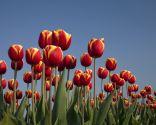 Tulipán Abu Hassan
