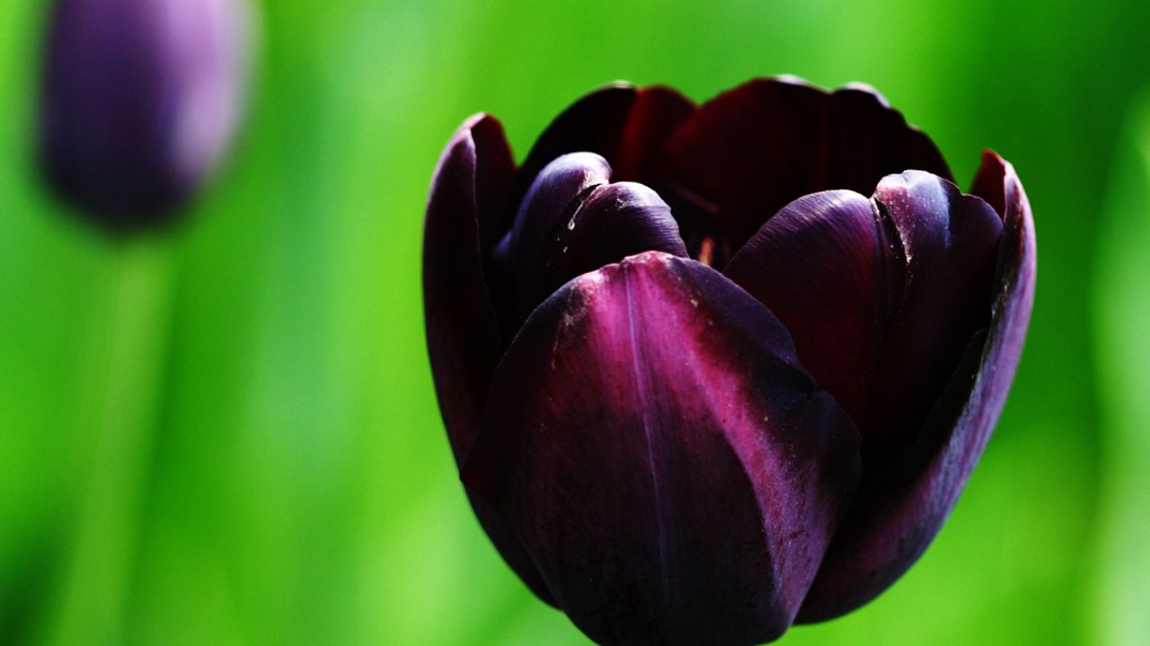 Tulipán Queen of night