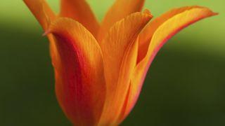 Tulipán Ballerina