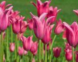 Tulipán China Pink